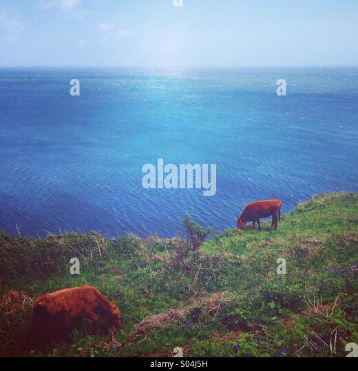 Cows by the sea, Devon - Stock-Bilder