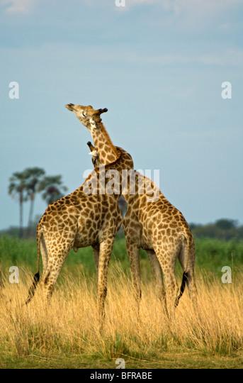 Giraffes neck-wrestling as part of their dominance behaviour - Stock Image