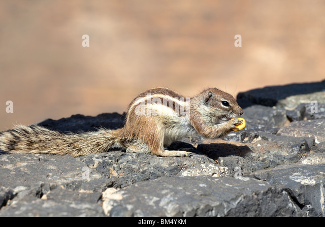 A Barbary Ground Squirrel (Atlantoxerus Getulus) near Betancuria on the Canary Island of Fuerteventura - Stock Image