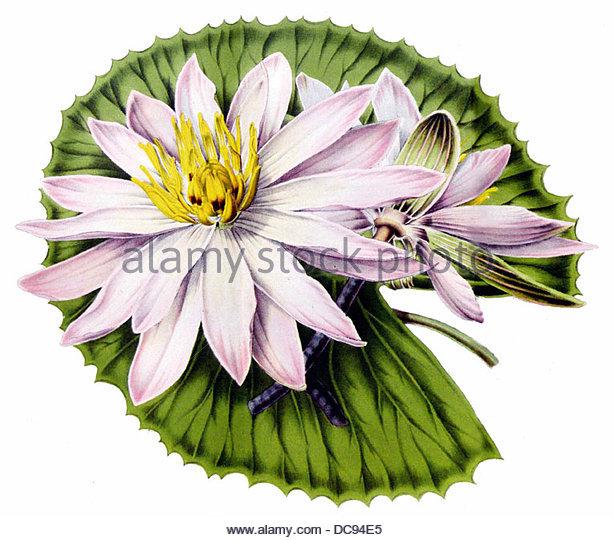 water lily Nymphaea boucheana - Stock-Bilder