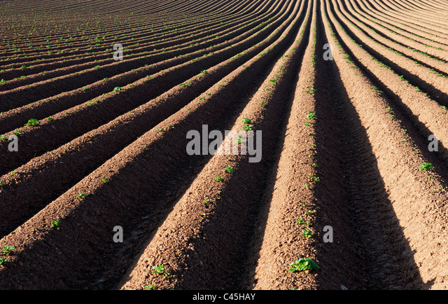 Ridge and furrow ploughed field pattern. UK - Stock Image