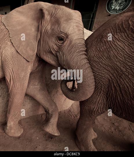 Orphan elephants  at Sheldrick wildlife trust . Tsavo  East. Kenya Africa - Stock Image