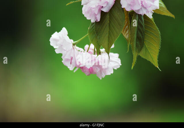 a-apple-blossom-g1fjnc.jpg