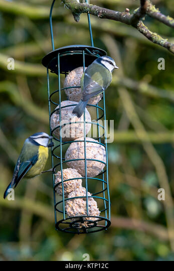 Melton Mowbray, UK. 28th Dec, 2017. Snow covered gardens icey roads chilly winds Robin and Blue tits visit high - Stock Image