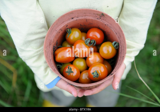 new picked tomatoes in plant pot - Stock-Bilder