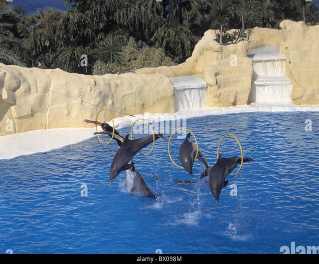 dolphins dolphin's show Canary islands isles Loro Parque Puerto de la Cruz rings Spain Europe jump Tenerif - Stock Image