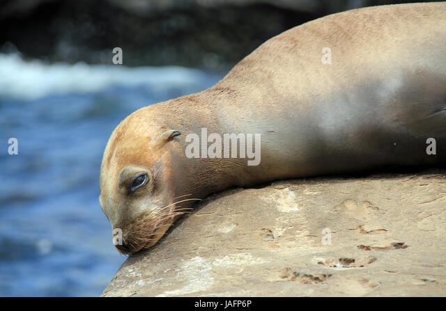 Close-up of a California Sea Lion (Zalophus Californianus), Resting on a Rock. La Holla, California, United States - Stock Image