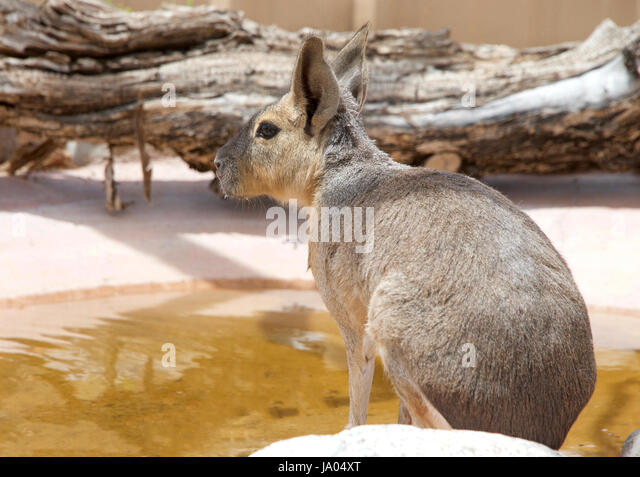 One Patagonian Cavy (Dolichotis patagonum), is a relatively large rodent. Drinking from a pond, profile view from - Stock Image