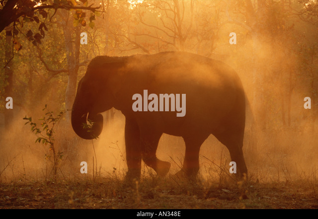 Indian Elephant Elephus maximus Asian elephant enjoying dust bath Kahna National Park India - Stock-Bilder