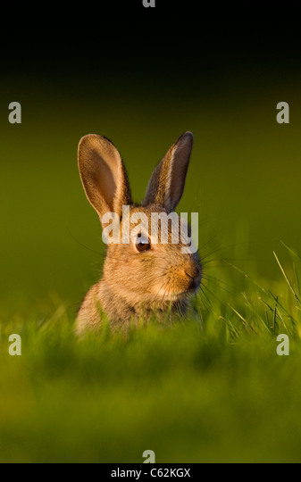 RABBIT Oryctolagus cunniculus In the last rays of evening light a young rabbit sits alert near its warrenNorfolk, - Stock-Bilder
