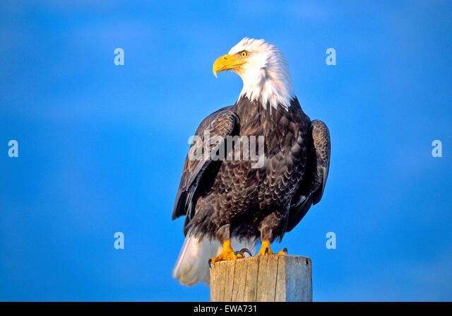 Bald Eagle sitting on post near water, Alaska - Stock-Bilder
