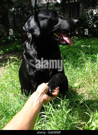 Labarador shaking hands - Stock Image