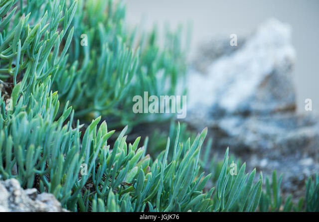 Green fatty plant on a blurred background - Stock Image