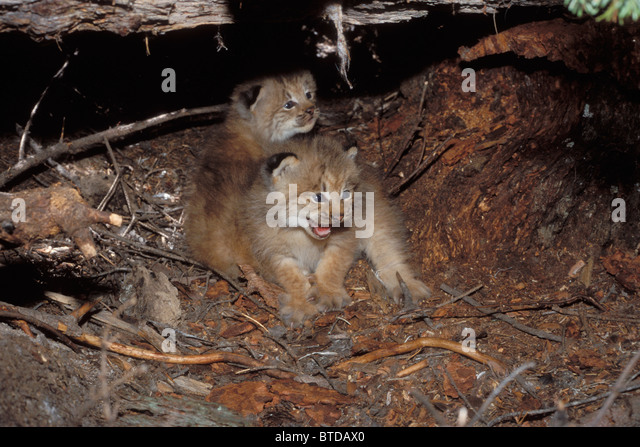View of Lynx kittens in their den site under a rotten log, Mission Mountains, Montana, Lolo National Forest, USA - Stock Image