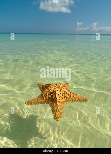 Dominican Republic Punta Cana Bavaro Beach,starfish floating on placid water with blue sky - Stock Image