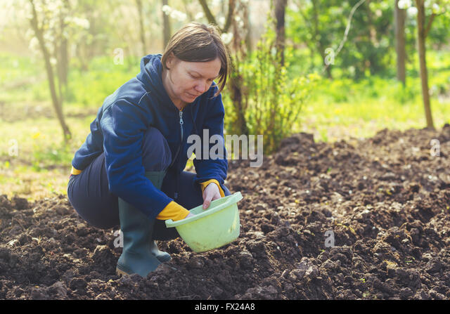 Woman seeding onions in organic vegetable garden, young adult female planting seeds in the arable soil. - Stock Image