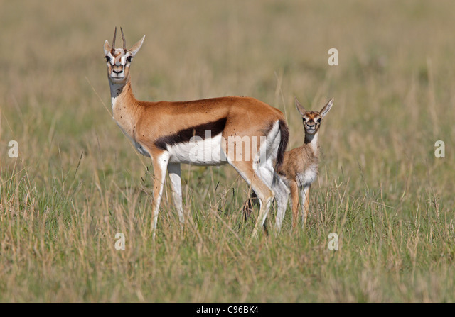 Thomsons Gazelle Stock Photos & Thomsons Gazelle Stock ...