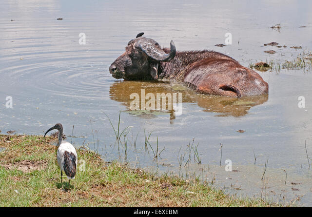 African Bufallo SYNCHERUS CAFFER wallowing in shallow water at edge of Lake Nakuru in National Park Kenya East Africa - Stock Image
