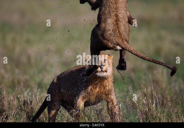 African Lion (Panthera leo) adolescent male and female play fighting in waterlogged grassland, Masai Mara National - Stock-Bilder
