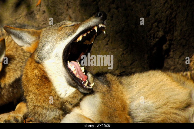 Red wolf Canis rufus resting under tree yawns bares teeth fierce threat danger - Stock Image