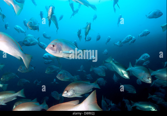 School of Red Snapper Lutjanus bohar at the SS Yongala Wreck Great Barrier Reef, Coral Sea, Pacific Ocean, Queensland - Stock Image