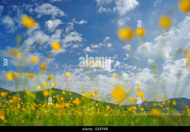 Meadow buttercup (Ranunculus acris) flowers in a meadow, Piano Grande mountain foothills, Sibillini National Park, - Stock Image