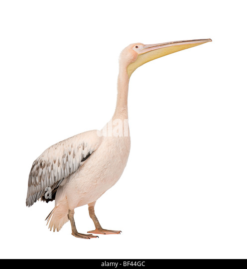 White Pelican, Pelecanus onocrotalus, 18 months old, in front of a white background - Stock Image