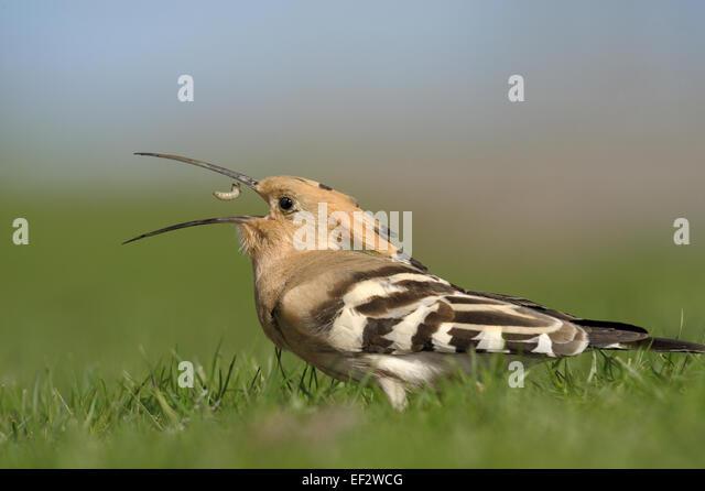 Hoopoe with prey. - Stock Image