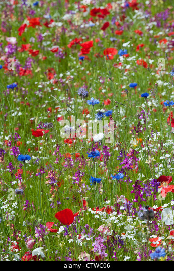 Colourful English wildflower garden - Stock Image