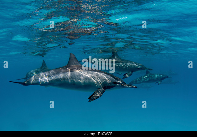 A common dolphin near to the surface, Egypt (Delphinus delphis) - Stock-Bilder