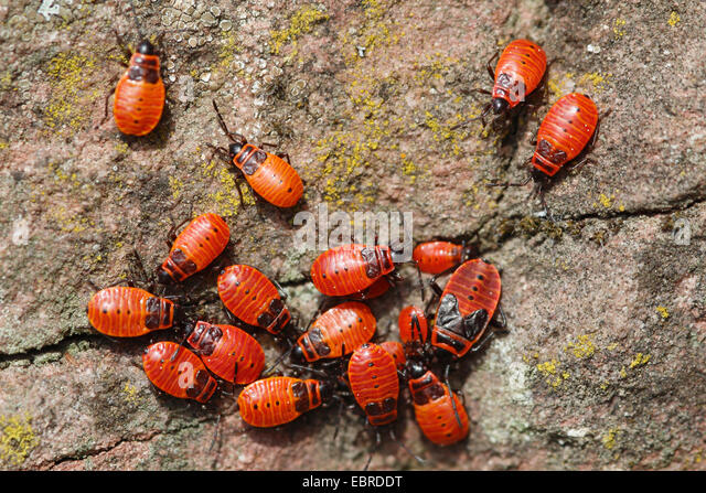 firebug (Pyrrhocoris apterus), group of young animals , Germany - Stock-Bilder
