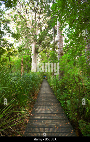 Walkway in the Waipoua Kauri Forest, North Island, New Zealand - Stock Image
