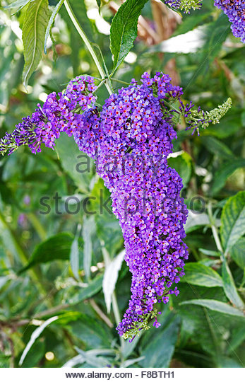Buddleja davidii Buzz .Sky Blue' - Summer flowering - Stock Image