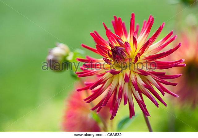Dahlia 'Weston Spanish Dancer' flower. Cactus dahlia - Stock Image