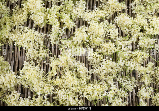 elderberry sambucus nigra stock photos elderberry. Black Bedroom Furniture Sets. Home Design Ideas