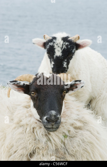 Black-faced Sheep and Lamb, Dingle Peninsula, Western Ireland - Stock Image