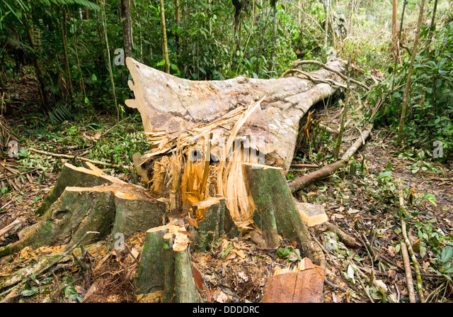 the destruction of tropical rainforests and When we think of rainforests, most of us think of the tropics – those forests  between the tropic of cancer and tropic of capricorn, including south america.