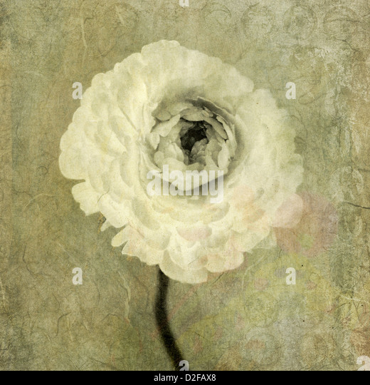 Ronucoulous flower. Photo based illustration. - Stock Image