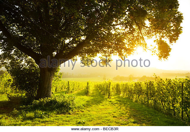 Sunrise at Denbies Vineyard & Wine Estate, near Dorking, Surrey, England - Stock Image