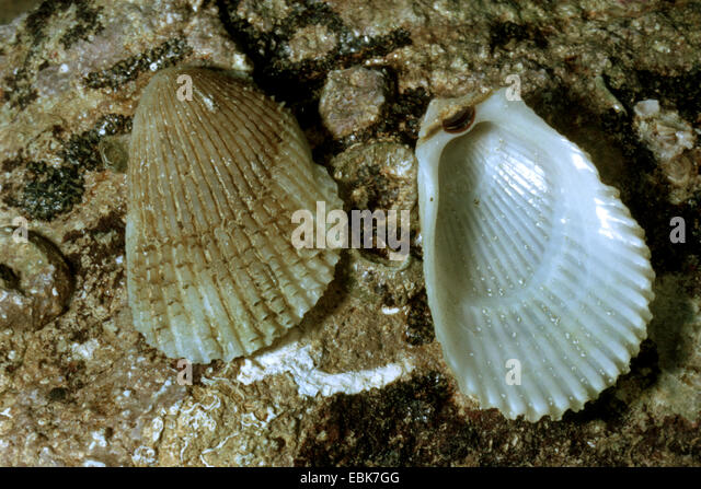 spiny fileclam, spiny lima (frilled file shell) (Lima lima), shells lying on wet rock - Stock Image
