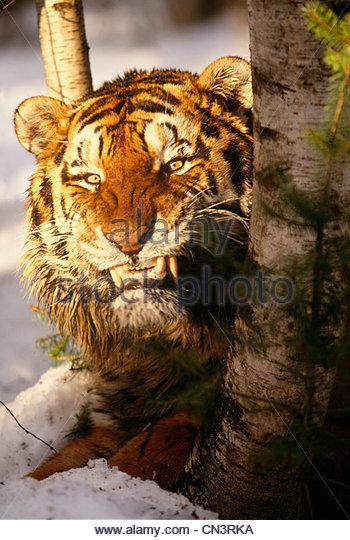 Bengal tiger, India - Stock Image