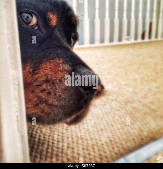 Rottweiler dog peeping - Stock Image