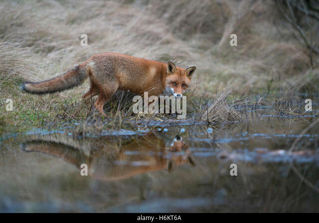 Red Fox ( Vulpes vulpes ) at the edge of a little natural pond, seems to be thirsty, looks surprised, mirroring - Stock Image