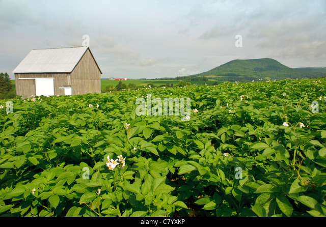 Potato field and old wooden barn in Carleton County New Brunswick ...
