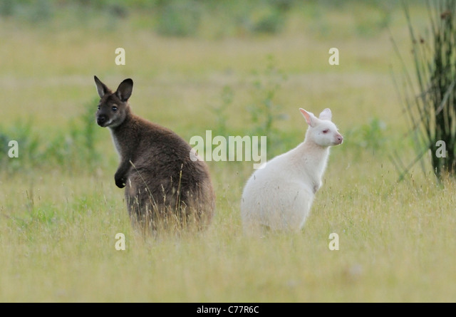 Bennett's Wallaby Macropus rufogriseus White, albino and dark form Photographed on Bruny Island, Tasmania, Australia - Stock Image