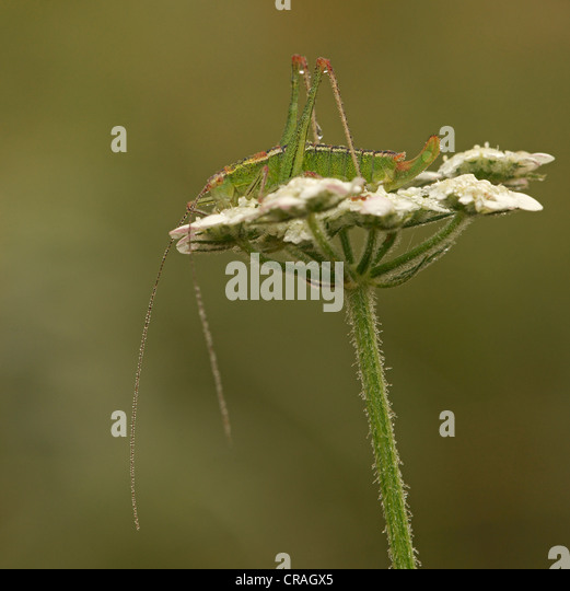 Bush cricket (Barbitistes spec.), Bulgaria, Europe - Stock Image