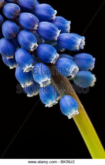 Grape Hyacinths against a black background - Stock Image
