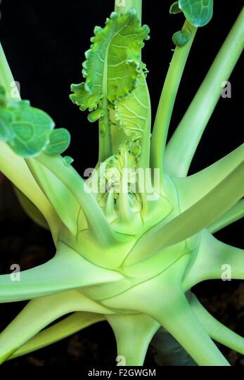 Kohlrabi turnip cabbage Brassica oleracea Veggi health healthy fit fitness grow thrive earth, potting soil, beautiful, - Stock Image
