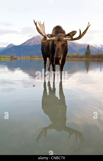 CAPTIVE: Bull moose walks thru high-tide water, Alaska Wildlife Conservation Center, Southcentral Alaska, Autumn - Stock Image
