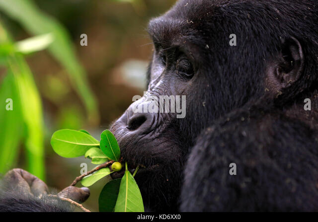 Close-up of a Mountain Gorilla (Gorilla beringei beringei) Feeding. Bwindi Impenetrable National Park, Uganda - Stock Image